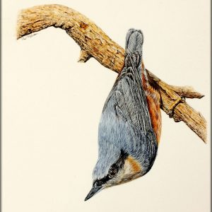 Nuthatch in watercolour by Paul Hopkinson