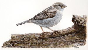 Sparrow in watercolour by Paul Hopkinson