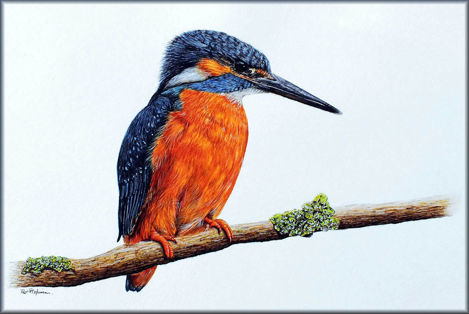 Kingfisher in watercolour by Paul Hopkinson, sign up to my blog