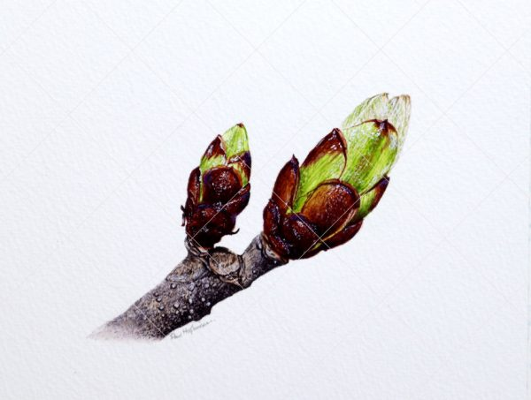Botanical watercolor painting of horse chestnut buds by Paul Hopkinson