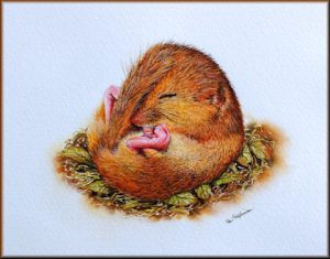How to Paint Animals in Watercolour - Dormouse PDF Lesson