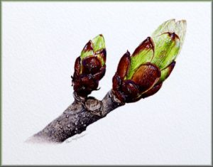 Botanical Watercolour Original Painting of Horse Chestnut Buds