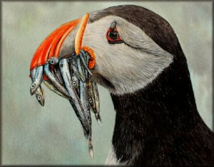 Step by Step Watercolour Painting of a Puffin Bird