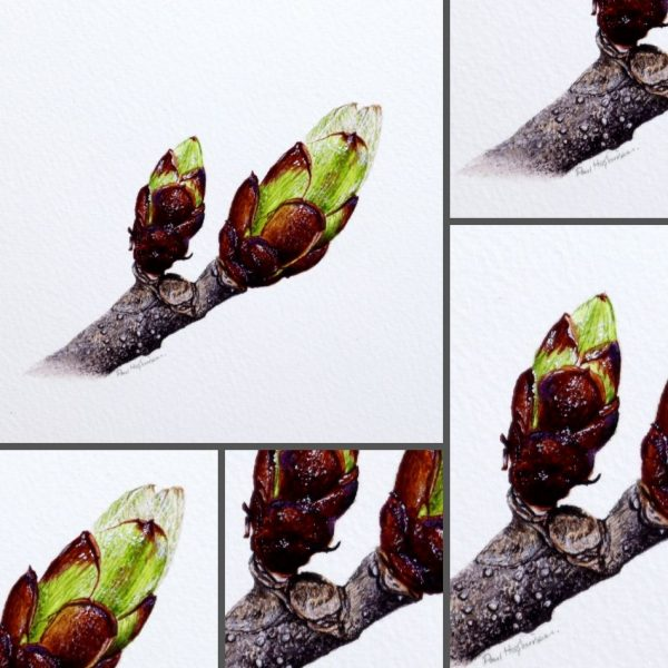 Close up photos of tree buds in watercolor by Paul Hopkinson