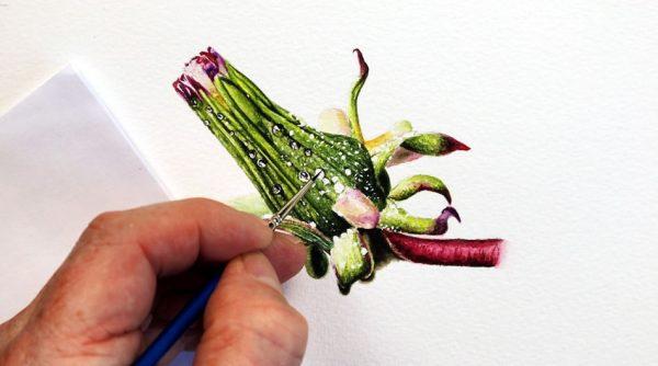 Dandelion seed head being painted by Paul Hopkinson in watercolour