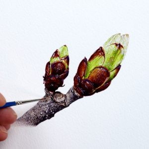 Paul Hopkinson painting horse chestnut buds in detailed watercolour