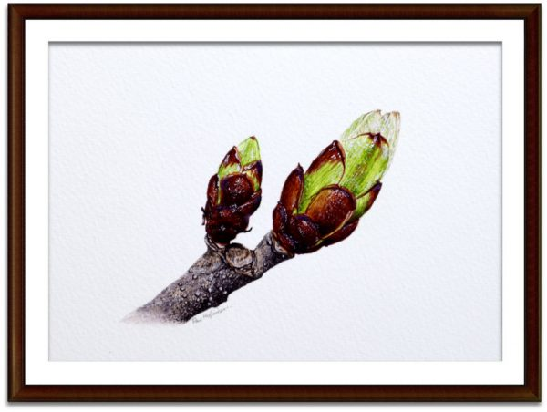 Watercolour chestnut buds by Paul Hopkinson mounted and framed