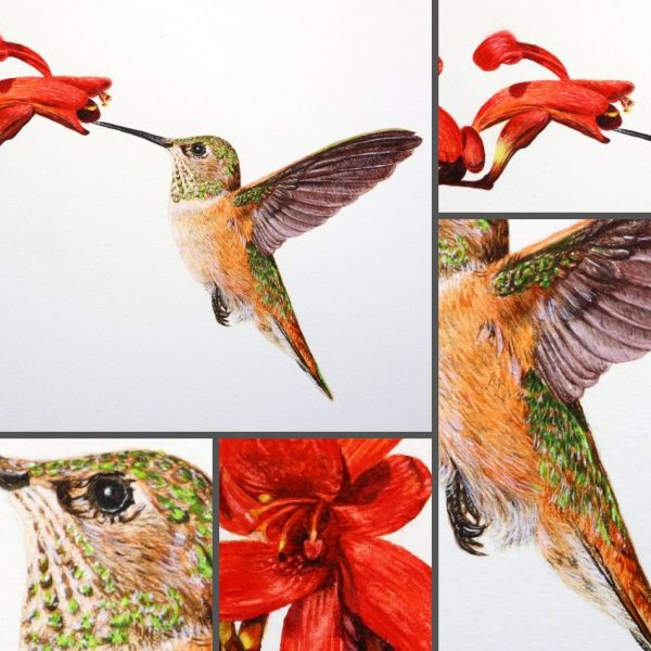 Close up photos of a hummingbird in watercolor by Paul Hopkinson