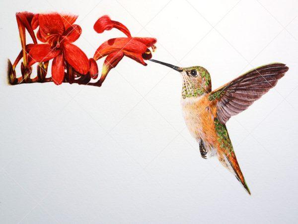 Hummingbird painted in watercolour by Paul Hopkinson