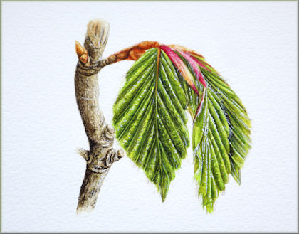 Video tutorial on painting a spring beech leaf in watercolour button link
