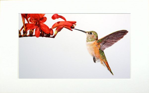 Watercolour painting of a Hummingbird by Paul Hopkinson in neutral mount