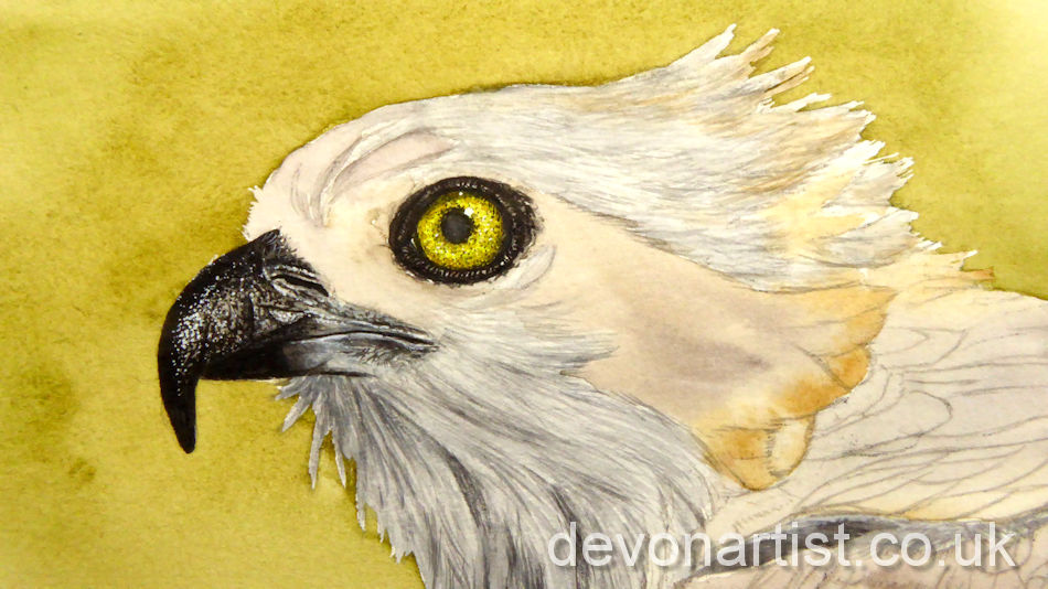 Watercolour Osprey painting process, the first stage working on the eye and beak