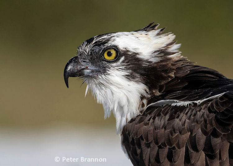 Osprey reference photo by Peter Brannon
