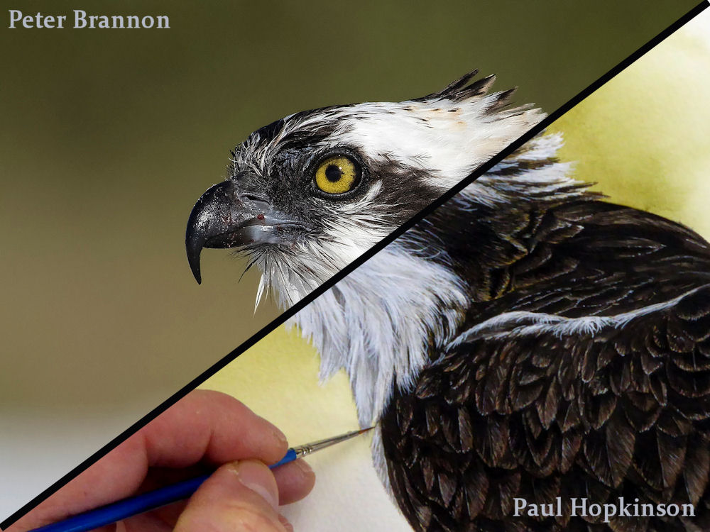 Photo/painting split photo of an Osprey in watercolor