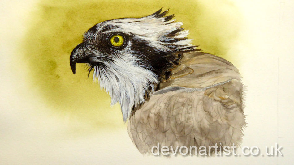 Watercolour osprey painting process working on the feathers