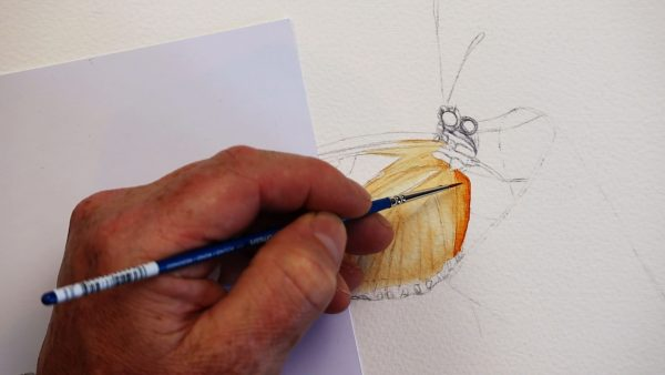 The first stage of painting a realistic butterfly in watercolour