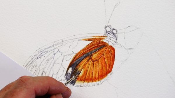 The second stage of painting a realistic butterfly in watercolour