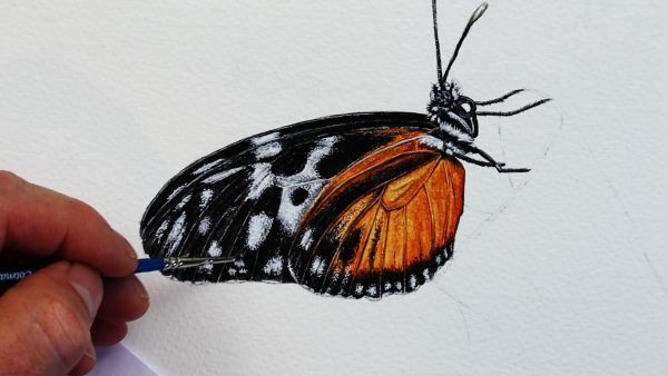 The third stage of painting a realistic butterfly in watercolour