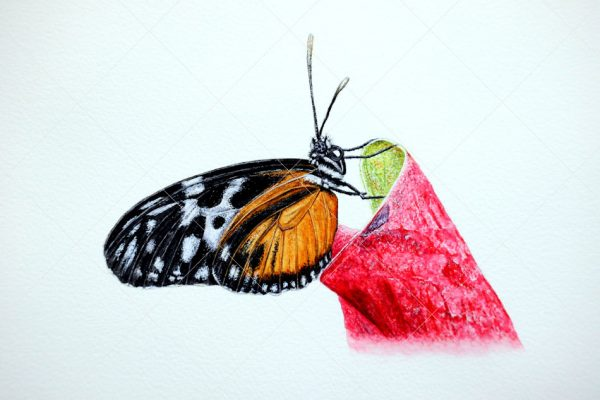 Butterfly painted in watercolour by Paul Hopkinson