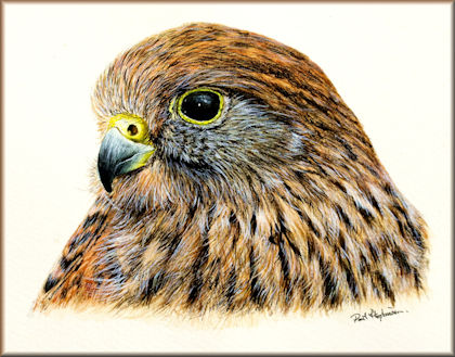 Free watercolour bird painting tutorial button to the kestrel study