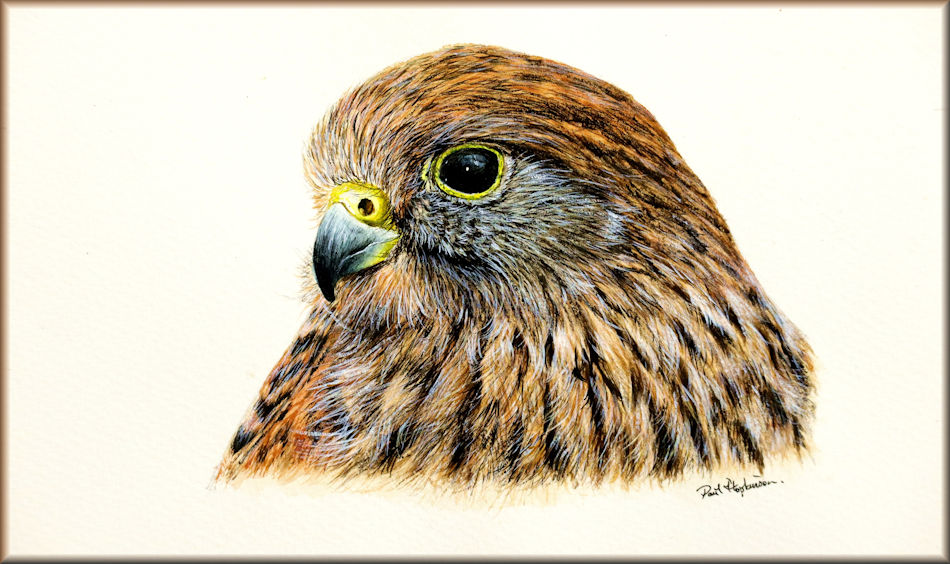 Free watercolor bird painting tutorial on painting this kestrel
