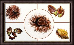 Learn to Paint in a Botanical Style - Beech Nut Realistic Illustrations