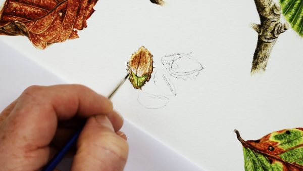 Botanical nut study in watercolor - stage 1