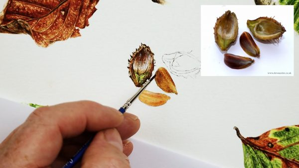 Botanical nut study in watercolor - stage 2
