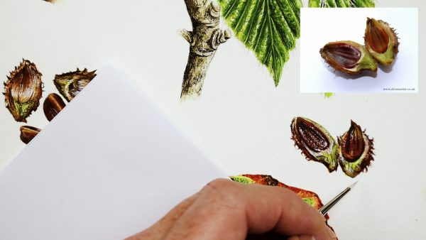 Botanical nut study in watercolor - stage 3