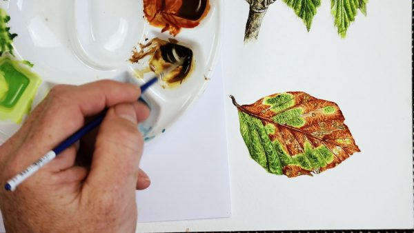 Botanical watercolor beech leaf study - stage 4