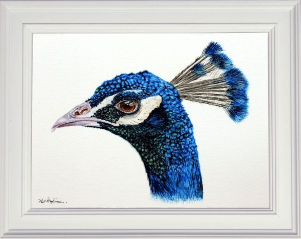 Realistic watercolour painting of a peacock framed