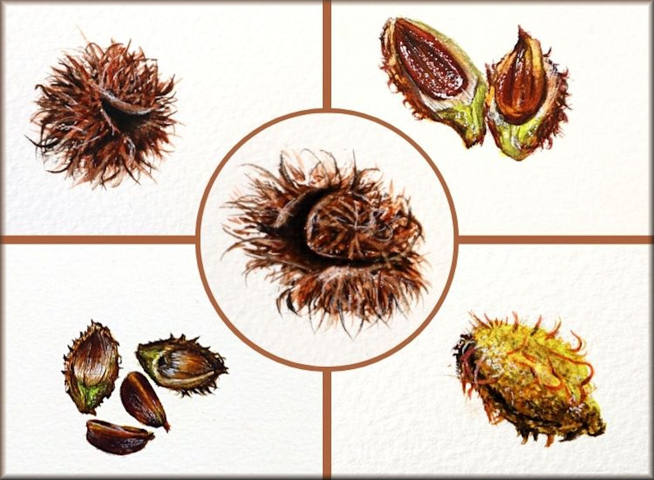 Botanical watercolour video tutorial on painting beech nuts