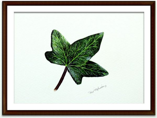 Watercolor painting of an ivy leaf by Paul Hopkinson mounted and framed