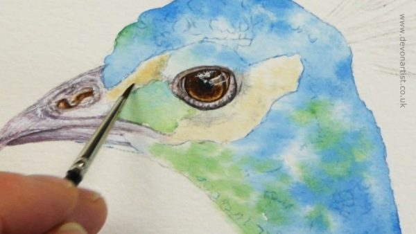 Watercolour peacock painting progress stage 2
