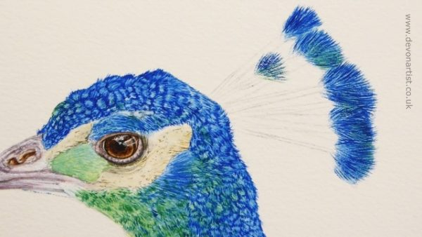 Watercolour peacock painting progress stage 3