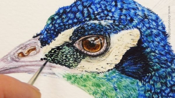 Watercolour peacock painting progress stage 4