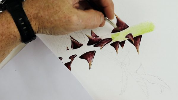 Botanical watercolor video lesson on painting rose thorns, stage 2