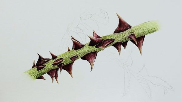 Botanical watercolor video lesson on painting rose thorns, stage 3