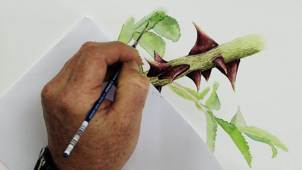 Botanical watercolor video lesson on painting rose thorns, stage 4