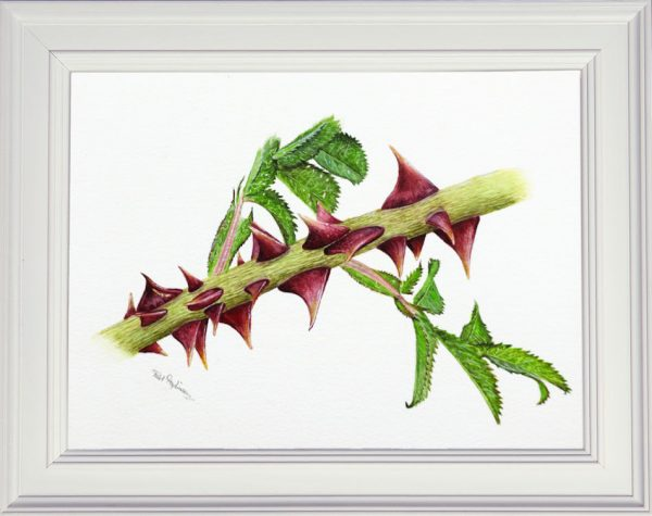 A dog rose thorn watercolour painting framed