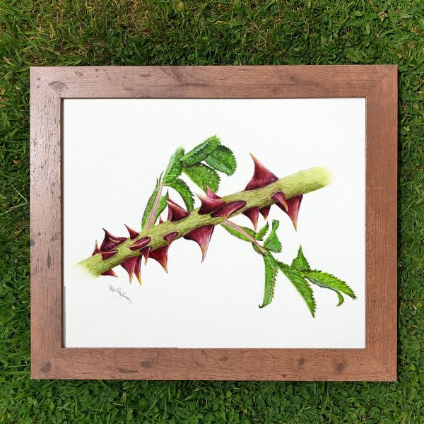 Framed realistic watercolor dog rose thorns by Paul Hopkinson