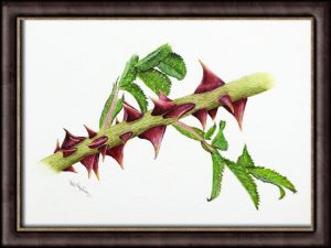 Watercolor painting of rose thorns by Paul Hopkinson in a frame