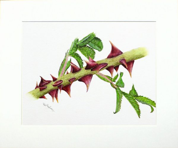 Watercolour painting of a botanical illustration by Paul Hopkinson in a neutral mount