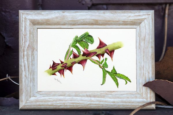 Watercolour thorn painting by Paul Hopkinson in a rustic frame