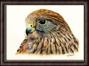 How to paint a realistic kestrel in watercolor