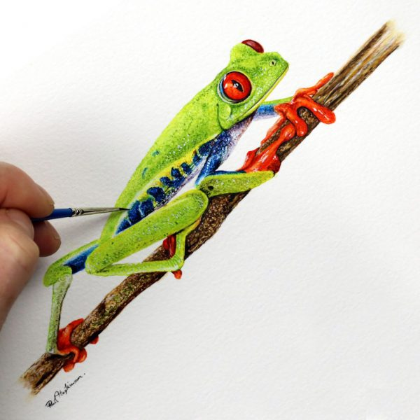 Paul Hopkinson painting a red eyed tree frog in watercolour