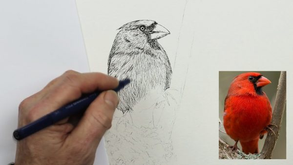 How to paint a watercolor cardinal stage 1