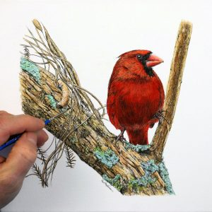 Paul Hopkinson painting a red cardinal in watercolor and ink