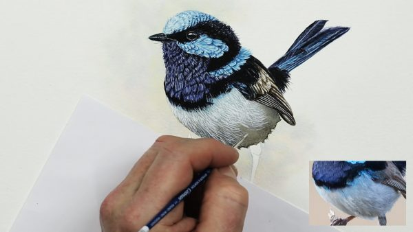 Watercolor step by step lessons fairy wren part 4