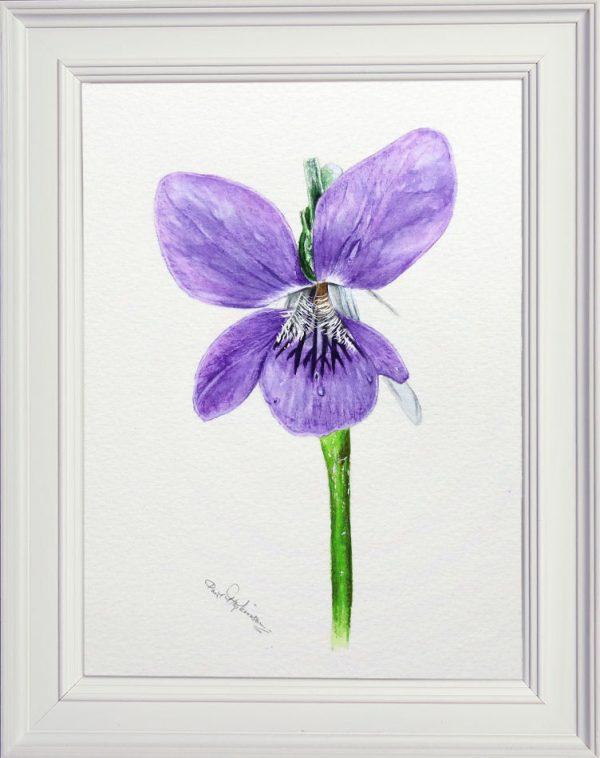 Botanical watercolour violet study by Paul Hopkinson, shown framed